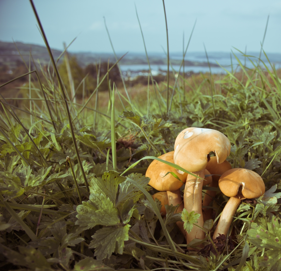 Sligo_Shrooms